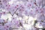 桜 美しき哉