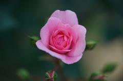 この日一番の可愛いバラ