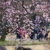 桜狩り@小石川後楽園 2