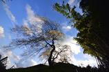 極楽寺の垂れ桜3