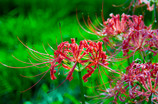 Red spider lily 2