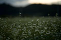 笠の蕎麦畑