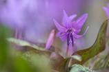 紫の妖精 2