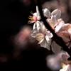 アーモンドの春Ⅱ