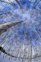 白樺林の中で
