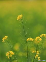 初冬の菜の花