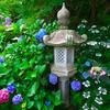 日本風景1093 紫陽花