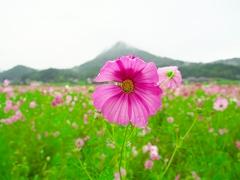 日本風景1216 コスモス