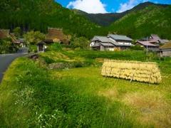 日本風景1208 稲