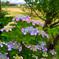 日本風景978 紫陽花