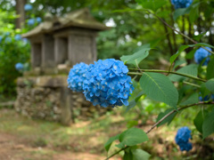 日本風景967 紫陽花