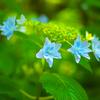 日本風景1092 紫陽花