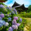 日本風景1088 紫陽花