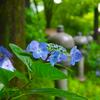日本風景1107紫陽花
