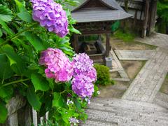 日本風景1118 紫陽花