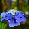 日本風景1105紫陽花