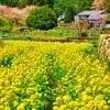 日本風景910 京都大原 春