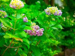 日本風景1114 紫陽花
