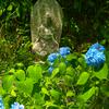 日本風景1104紫陽花