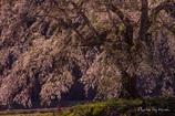 地蔵と枝垂れ桜