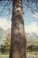 ポートラ的な木