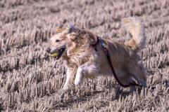 The Running Golden Retriever�B