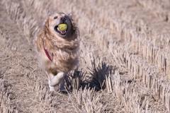 The Running Golden Retriever�E