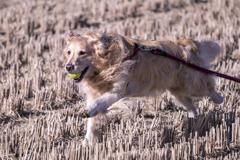 The Running Golden Retriever�C