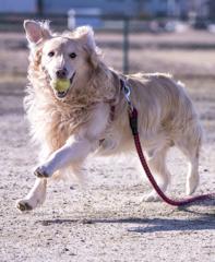 The Running Golden Retriever�F