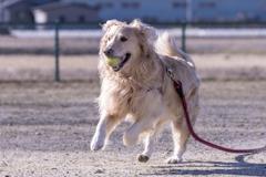 The Running Golden Retriever�I