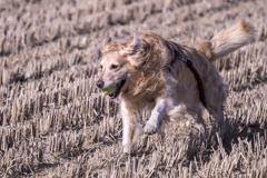 The Running Golden Retriever�A