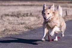 The Running Golden Retriever�M