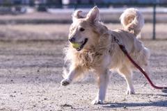 The Running Golden Retriever�H