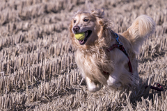 The Running Golden Retriever�@