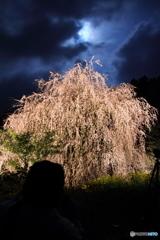 月夜に浮かぶ枝垂桜