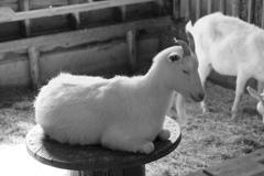 瞑想するヤギ