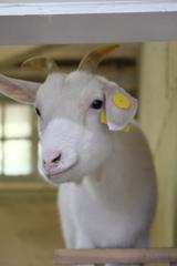 美人なヤギさん