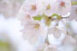 我が家の桜日記