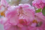 ハナカイドウも咲き誇る