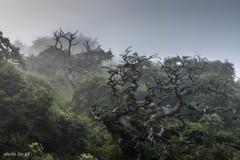 霧の中のしだれ栗古木2