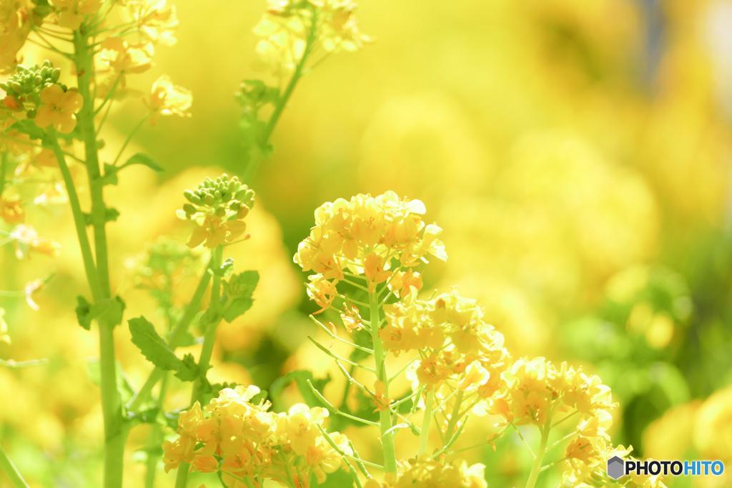 菜の花ポートレート♪