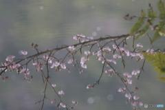 早咲き桜 虚
