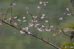 早咲き桜 実
