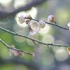 梅花と早春のグリーン添え