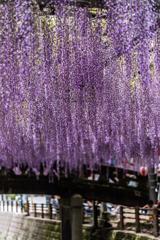 紫のタペストリー