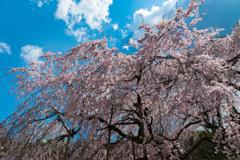 春咲小紅1