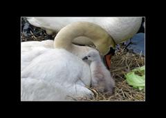 渡らない白鳥 母の愛