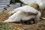 渡らない白鳥 日本での産卵