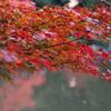 紅葉 旧古河庭園