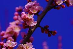 しずくblueの空としずくpinkのあんずのお花♬*.+゜